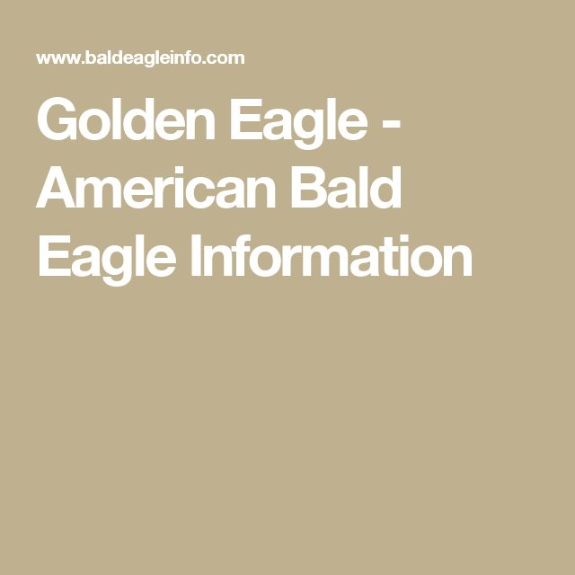 Golden Eagle - American Bald Eagle Information