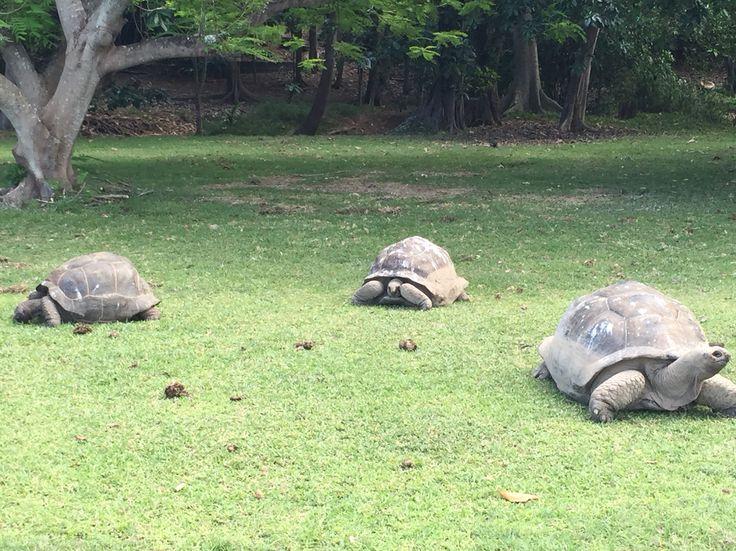 2000 turtles on Fregate island