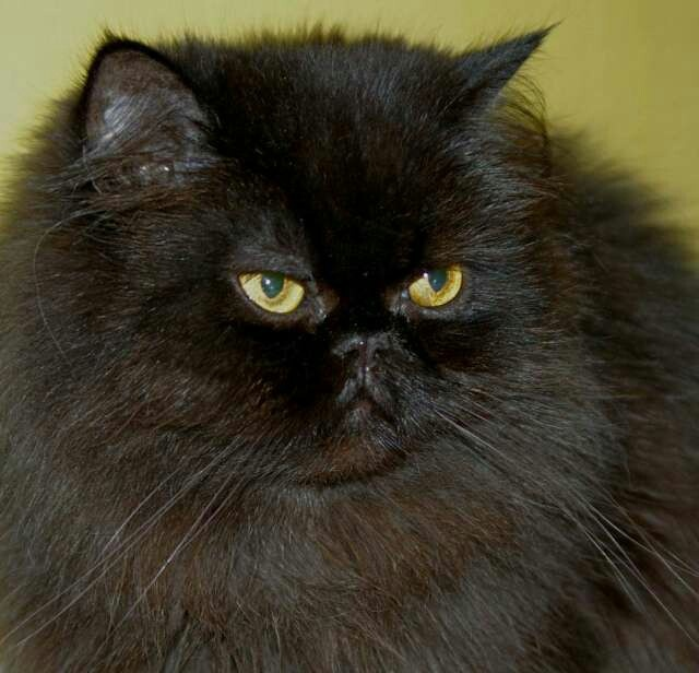 Black Persian Reminds me of my cat Angelica who passed away in 03 or 04. :(  She was the best!