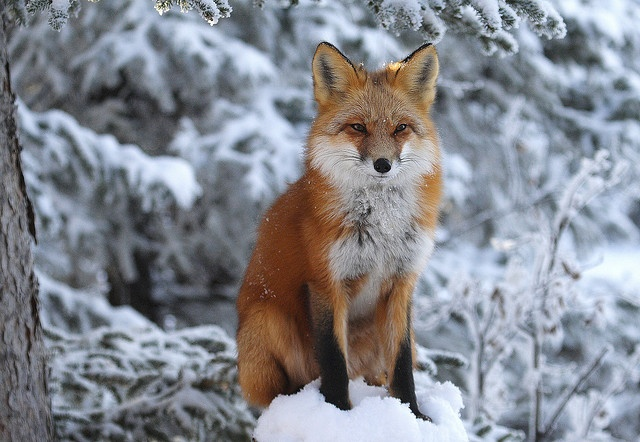 Red fox by Wolfhorn, via Flickr