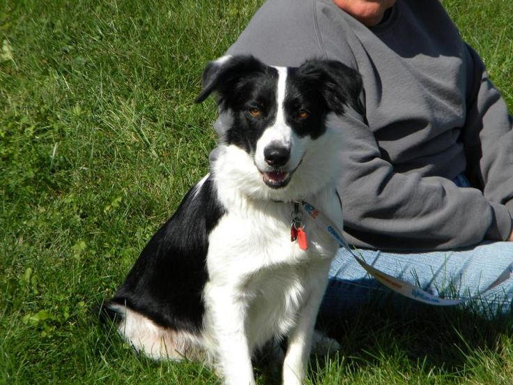 Meet Mya, an adoptable Border Collie looking for a forever home. If you're looking for a new pet to adopt or want information on how to get involved with adoptable pets, Petfinder.com is a great resource.