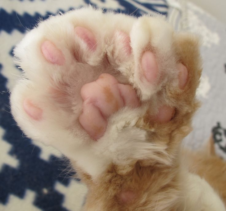 "Amazing Polydactyl Cat Paw. This belongs to my beautiful polydactyl Maine Coon cat ""Q"" who rules our house."