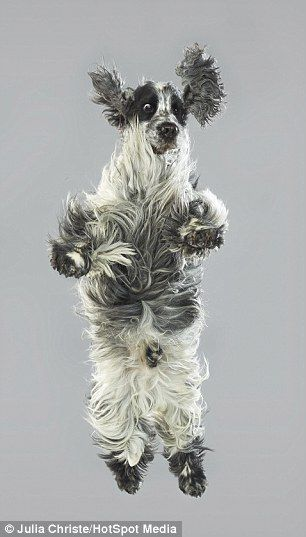 Best Fly Like A Beagle Images On Pinterest Beagle Mattress - Hilarious photographs dogs floating mid air