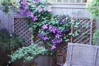 Clematis looks great in this narrow side yard