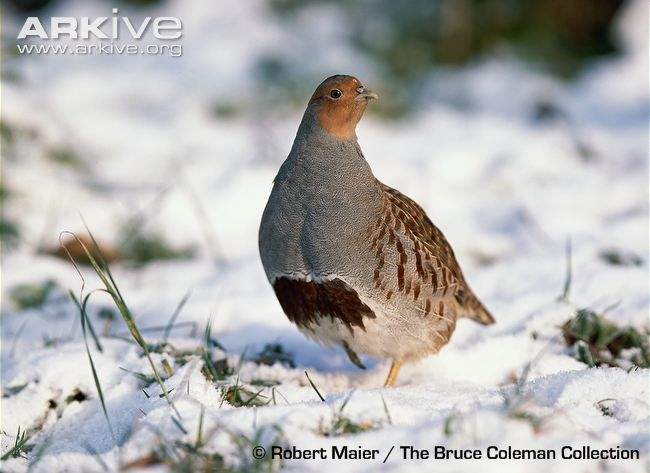 Male grey partridge