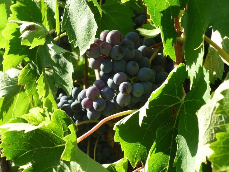 ...still sunbathing! #Tommasiwine #harvest #wine #vineyards #VinitalyHarvest