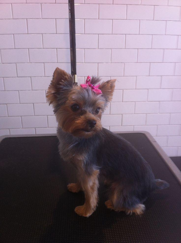 Bella, Yorkie, 4 blade, Short Face | Grooming | Cute Dogs ...
