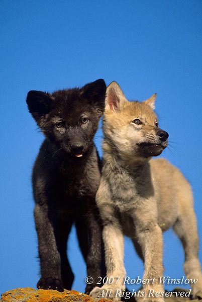 Wolf pups - Blonde & Black