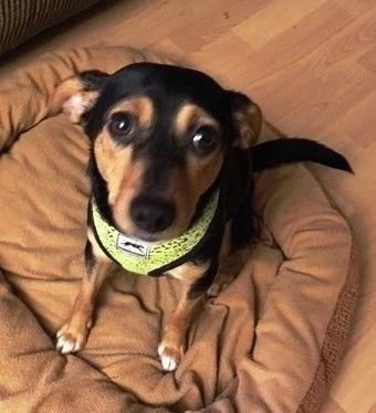 Ginger is an adoptable miniature pinscher searching for a forever family near West Caldwell, NJ. Use Petfinder to find adoptable pets in your area.