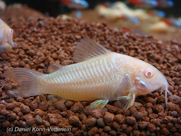 25 best ideas about aquarium catfish on pinterest for Fish tank catfish