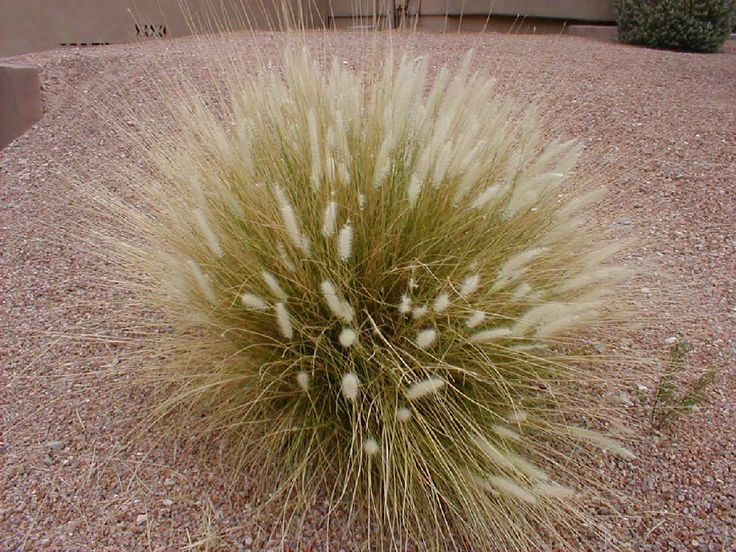 625 best images about garden sunset zone 24 on pinterest for Ornamental grass design