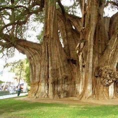 ARBOL DEL TULE. SANTA MARIA DEL TULE. OAXACA.  Cuenta la Leyenda zapoteca que Pechocha un sacerdote de Eecatl Dios del viento, sembro este Sabino.  El arbol màs grande y màs antiguo de Mèxico.  Un gigante que tiene màs de 2000 años,  es tan imponente que el pueblo se formò alrededor de el.      El tronco es de 33 metros de diametro  y tiene una circunferencia de 178 metros.