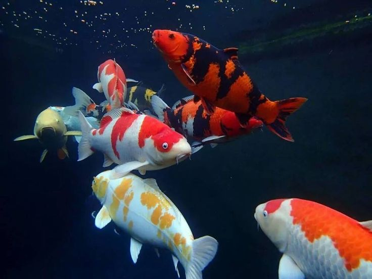 506 Best Koi Images On Pinterest Fish Ponds Koi Fish