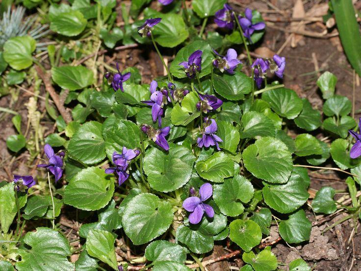22 best Tea Plants images on Pinterest | Tea plant, Healing herbs ...