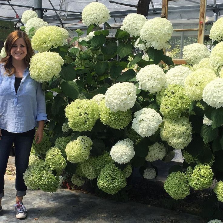 Holy !!! This Incrediball Hydrangea is HUGE!!! Got to spend the afternoon nursery hopping in Boise ID! #fun #day #nursery #garden #store #shopping #huge #hydrangea #flower #flowers #lovely #beautiful #gorgeous #provenwinners #bloom #blooms #instablooms #big #photo #photooftheday #flowerstalking #flowerpower #flowermagic #garden #gardens #gardening #gardenlovers #thisisboise #pic #picoftheday