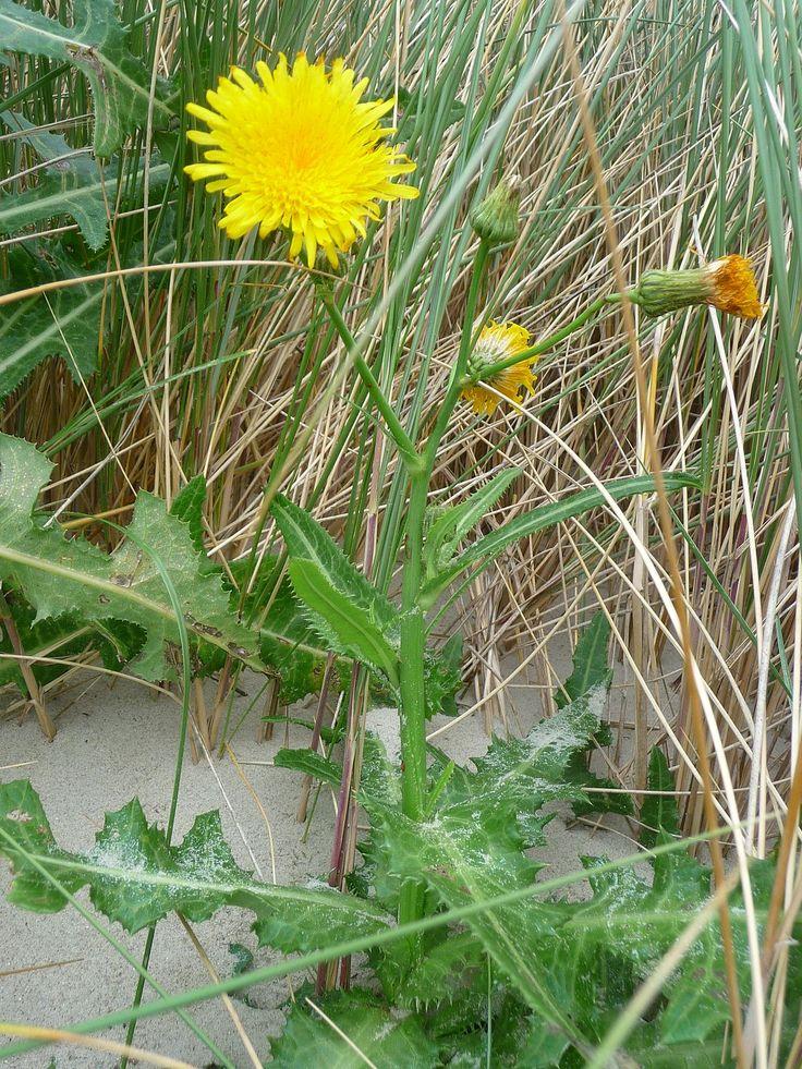 Perennial sow thistle   Medicinal herbs, Healing herbs, Plants