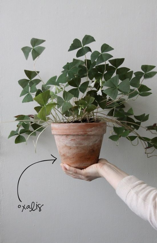 Oxalis & other house plants that are easy to care for