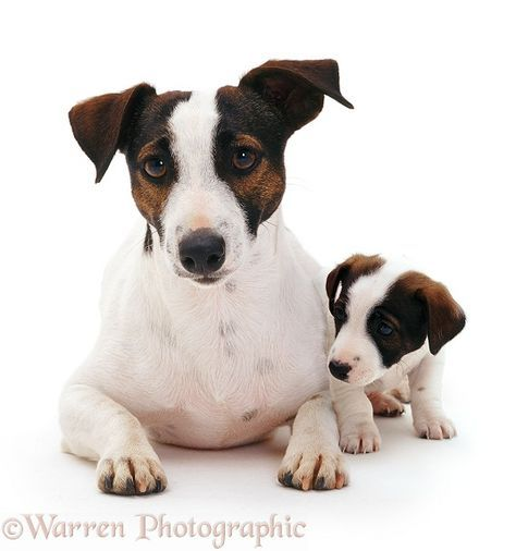 Dogs: Jack Russell Terrier and pup photo