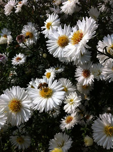 Buy Michaelmas daisy ( Syn Aster ) Aster Symphyotrichum 'novi-belgii White Ladies': Delivery by Crocus