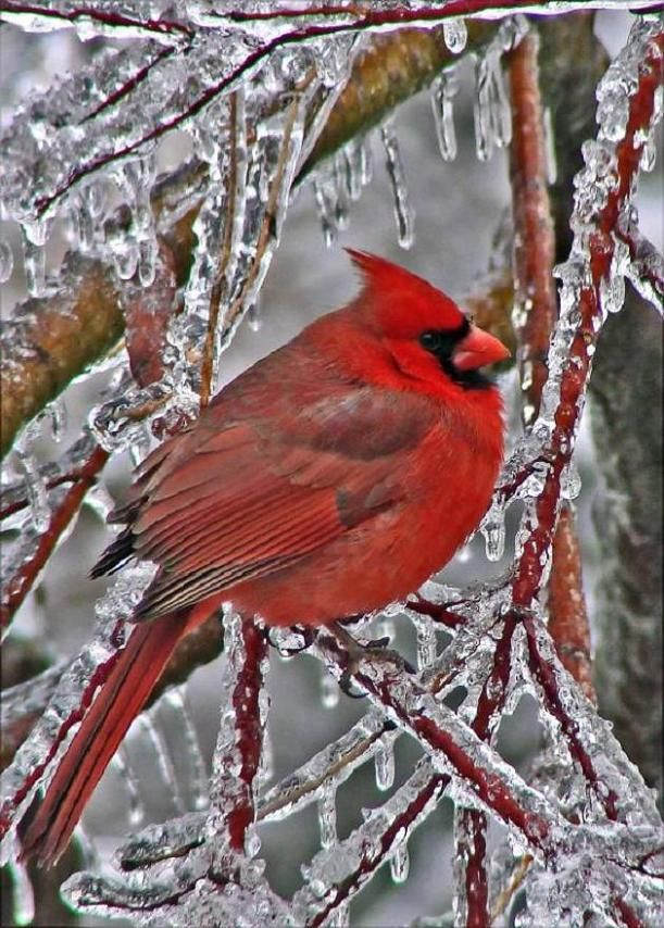 Northern Cardinal resting after an ice storm.