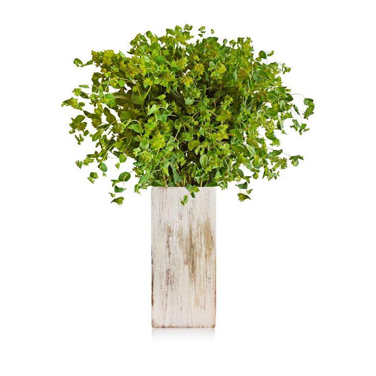 BUPLEURUM #roses,#pinkflowers,#gardening,#plants,#love,#bridal,#holidays,#anniversarygifts,#gift,#partyideas,#partydecorations,#fasshion,#christmas,#homedecor,#events,#giftsforher,#cooking,#fasshion,#style,#shopping,#onlineshopping,#online,#disney,#disneyland,#oprah,#usa,#costco,#sams,#art,#artist,#miami,#texas,#washingtondc,#newyork,#atlanta,#dogs,#family,#unitedstates,#babies,#lasvegas,#orlando,#chicago,#sandiego,#california,#sanfrancisco,#houston,#design,#losangeles,#fall,#summer,#winter
