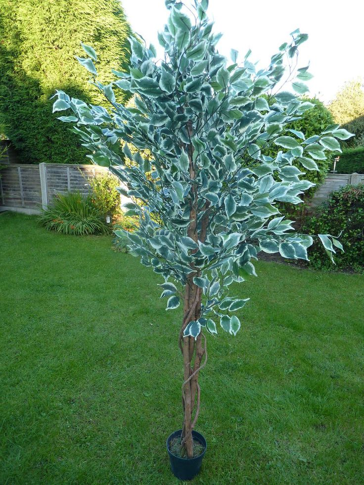 Large Artificial Variegated Ficus Benjamina Tree in a Pot Potted Plant 1.8m 6'  #UKGardens #PottedPlants