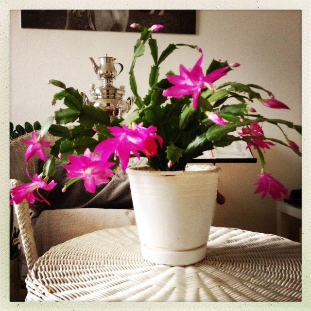 Oh, happy pink day!!!!!... Vánoční kaktus slaví dva roky!!! ...BY BARU