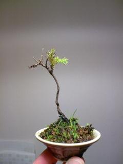 Bonza bonsai