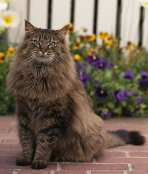 10 facts on maine coon cats pawnation maine coon cats pinterest facts maine coon and. Black Bedroom Furniture Sets. Home Design Ideas