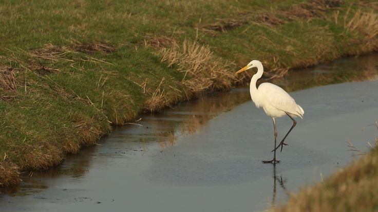 Great Egret trying to walk on slippery ice