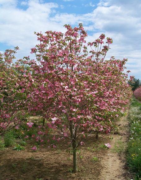 Cornus florida Cherokee Brave Dogwood - Bing Images