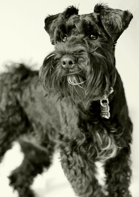 """This is a darling little black Miniature #Schnauzer and he has the cutest name       """"OZ"""""""