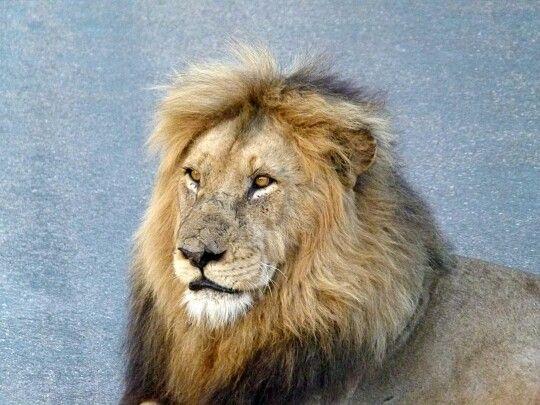 Lion #KNP #SANPARKS
