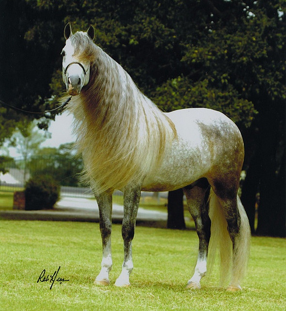 Dappled Gray Andalusian Beauty
