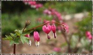 Dicentra o Cuore di Maria - Come coltivarlo, curarlo, trucchi e foto. Il cuor di Maria è una pianta perenne di dimensioni contenute proveniente dalla Cina.