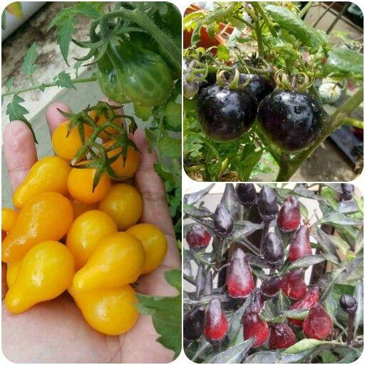 Tomato pier yellow & indigo rose