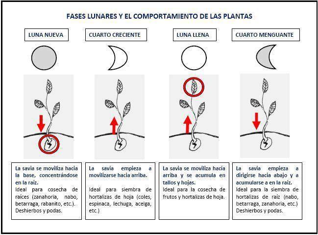 Cómo influye en las plantas las fases lunares - How plants affect the lunar phases