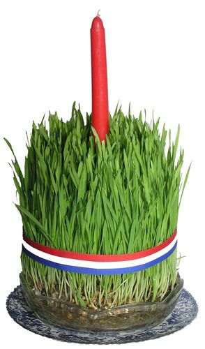 [Croatian wheat grass, planted on St. Lucy's, used for Christmas candles]