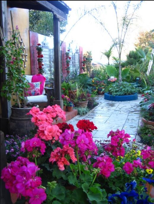 A colour explosion created with brightly coloured bush Geraniums, planted in terracotta pots.
