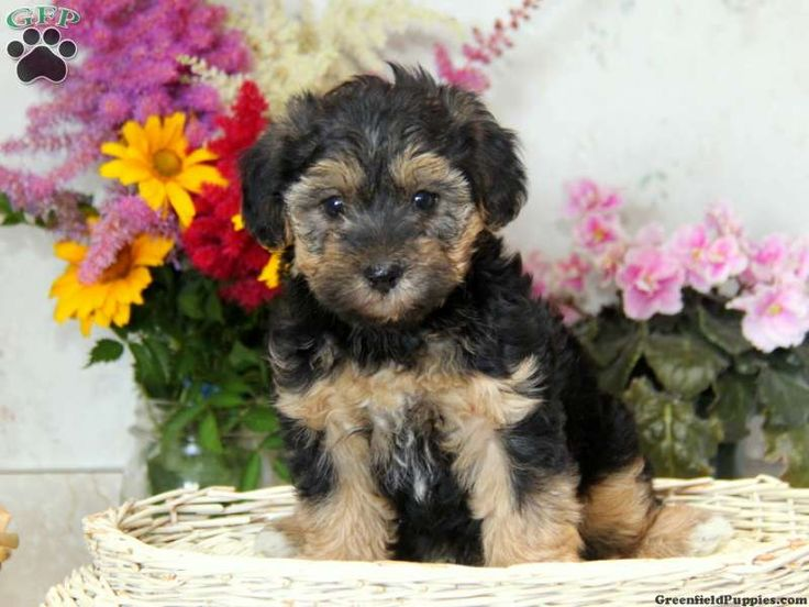 yorkie poo puppies for sale in pa yorkie poo information yorkie poo puppies for sale in pa 6171