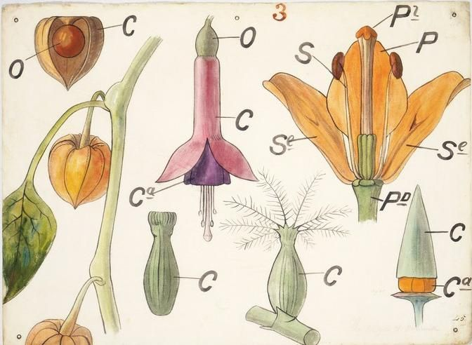 botanical drawing by Christopher Dresser 1855: Flowers Diagrams, Botanical Drawings, Botanical Illustrations, Botany Illustrations, Christopher Dressers, Botanical Diagrams, Plates Flowers, Flowers Anatomy, Albert Museums