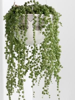 Best of Home and Garden: How to Grow and Care for the String of Pearls Plan...