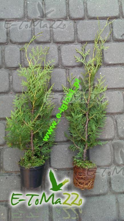 THUJA TUJA BRABANT 40CM DONICA 0,6L - Tuje, Drzewa, Krzewy, Rośliny