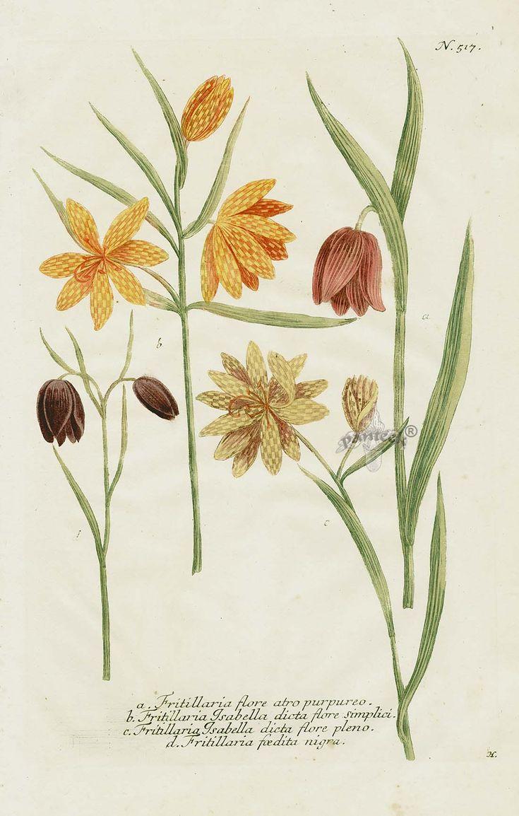 75 best fritillaria images on Pinterest | Botanical art, Botanical