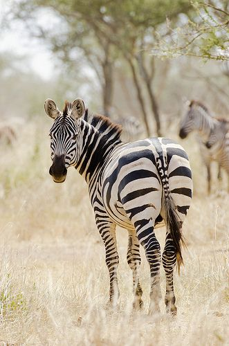 No two Zebras are alike and yet this pattern would surely seem to be. A mother Zebra and her newborn must see each other soon after birth so that their patterns are immediately imprinted on their brains . If this does not occur, they will not bond.