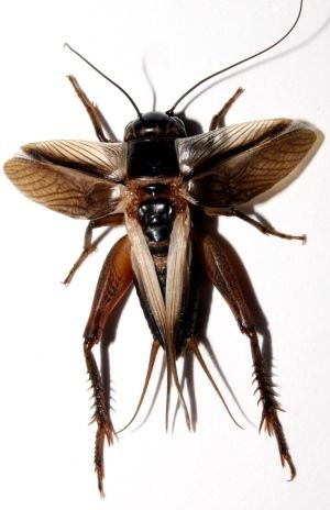 Evolution sparks silence of the crickets: Males on two Hawaiian islands simultaneously went mute in just a few years to avoid parasite.