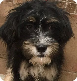 Pictures of Lexi a Wheaten Terrier/Havanese Mix for adoption in Oswego, IL who needs a loving home.