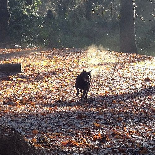 Here I come; ready or not #DontBullyMyBreed #staffie #staffy #dog #bullterrier #nature #woods #winter #nofilter #steam #seasonal #running