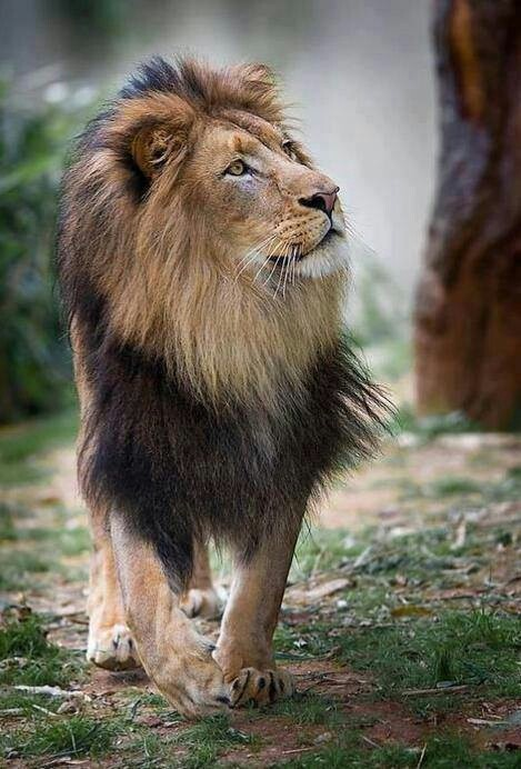 85 best images about lions tigers and cheetahs on pinterest king zoos and the lion. Black Bedroom Furniture Sets. Home Design Ideas