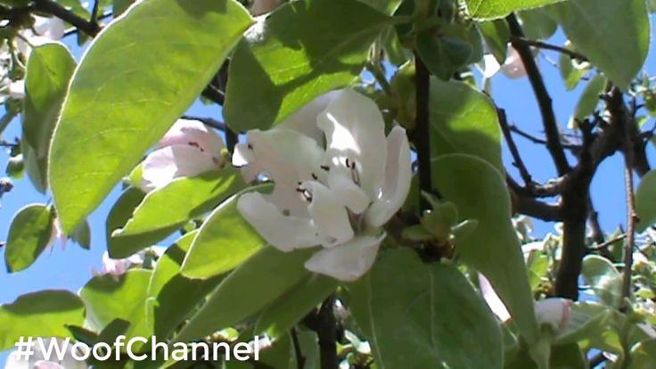 Вифлеемская звезда и цветы айвы#WoofChannel